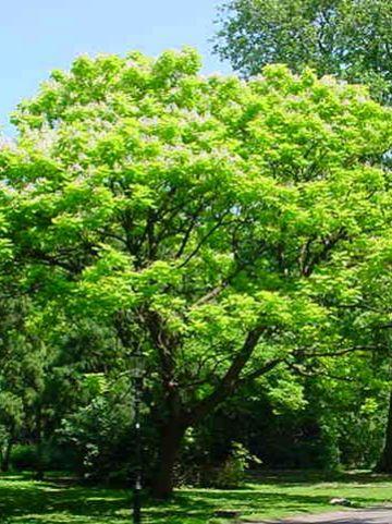 Catalpa bignoniodes 'Aurea' - Geelbladige trompetboom