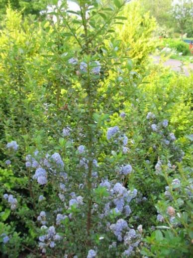 Ceanothus × veitchianus  - Amerikaanse sering
