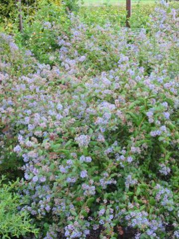 Ceanothus  'Autumnal Blue' - Amerikaanse sering , Herfstsering