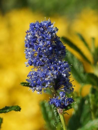 Ceanothus  'Blue Diamond' - Amerikaanse sering