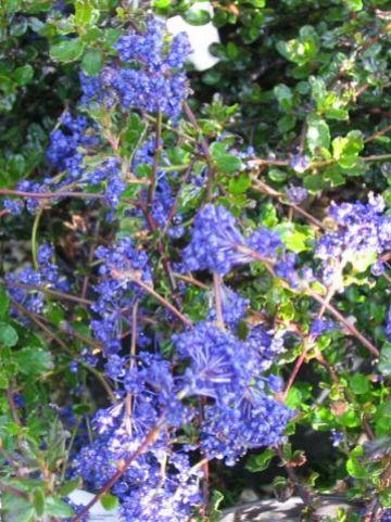 Ceanothus 'Blue Sapphir' - Amerikaanse sering