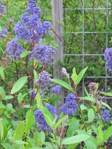 Ceanothus × delilianus  'Henri Défossé' - Amerikaanse sering , Sikkelbloem , Herfstsering