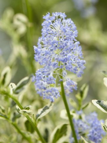 Ceanothus impressus 'Cool Blue' (='HUICO02') - Amerikaanse sering