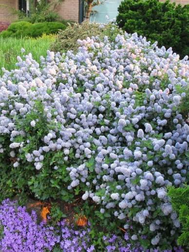 Ceanothus thyrsiflorus var. repens - Kruipende Amerikaanse sering, herfstsering