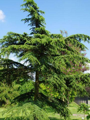 Cedrus brevifolia  - Ceder , Libanonceder