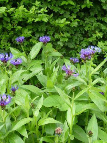 Centaurea montana  - Korenbloem