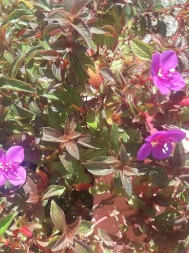 Centradenia inaequilateralis 'Cascade' -
