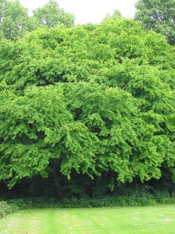 Cercidiphyllum japonicum - Katsuraboom, hartjesboom, judasboom