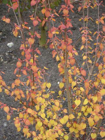 Cercidiphyllum japonicum 'Ra' (='JWW3') - Kadsuraboom