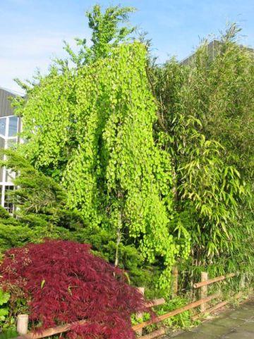 Cercidiphyllum japonicum 'Pendulum' - Treurende kadsuraboom