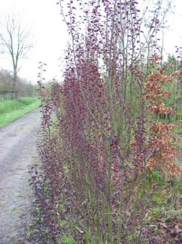 Cercidiphyllum japonicum 'Rotfuchs' - Kadsuraboom