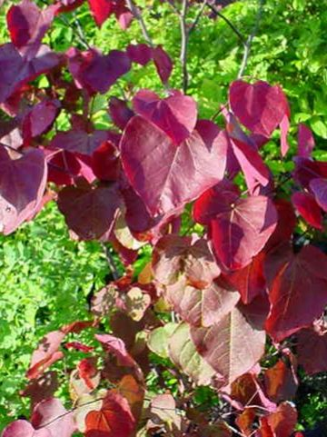 Cercis canadensis 'Forest Pansy' - Judasboom