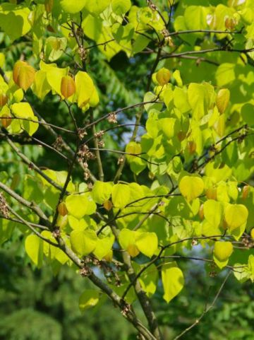 Cercis canadensis 'Hearts of Gold' - Geelbladige judasboom