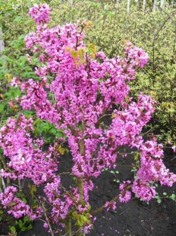 Cercis chinensis 'Avondale' - Judasboom