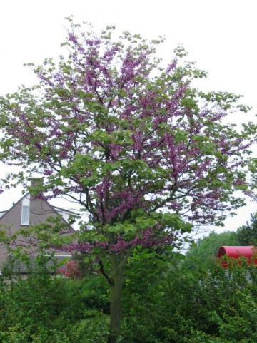 Cercis siliquastrum - Judasboom