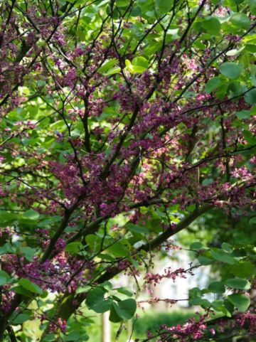 Cercis siliquastrum 'Bodnant' - Judasboom