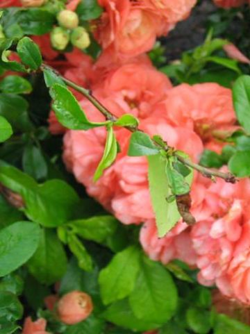 Chaenomeles × superba 'Cameo' - Sierkwee