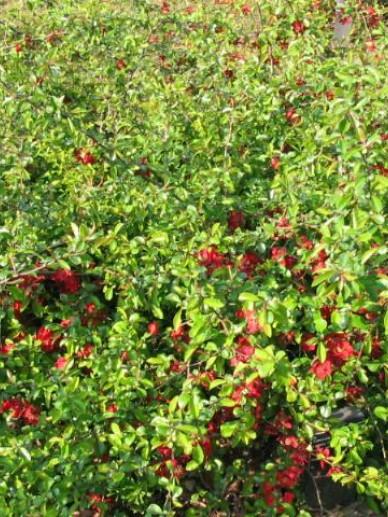 Chaenomeles × superba 'Crimson and Gold' - Japanse sierkwee