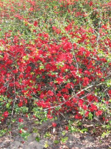 Chaenomeles × superba 'Etna' - Japanse dwergkwee