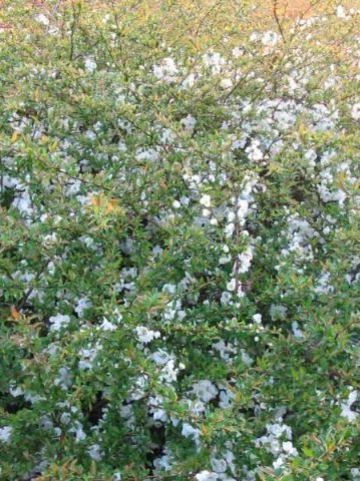 Chaenomeles × superba 'Jet Trail' - Japanse sierkwee