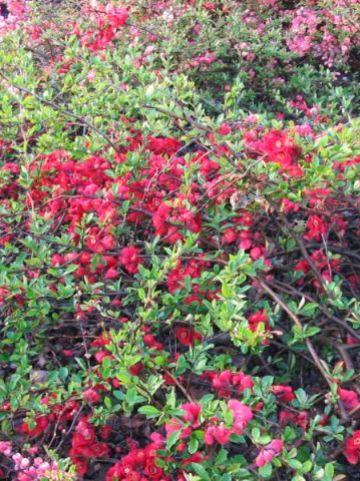 Chaenomeles × superba 'Nicoline' - Japanse sierkwee