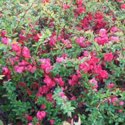 Chaenomeles × superba 'Texas Scarlet' - Japanse sierkwee