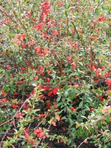 Chaenomeles × superba 'Vermilion' - Sierkwee