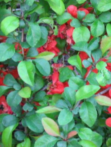 Chaenomeles japonica 'Cido' - Japanse kwee , Sierkwee