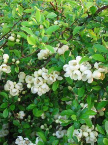 Chaenomeles japonica 'Rising Sun' - Japanse kwee , Sierkwee