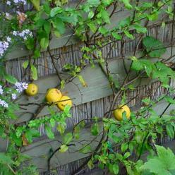Chaenomeles japonica 'Sargentii' - Japanse kwee , Sierkwee