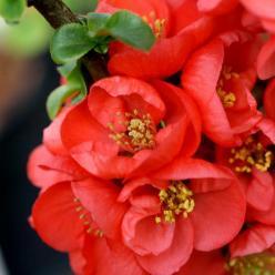 Chaenomeles speciosa 'Red Kimono' (='AINOOMOI') - Japanse kwee