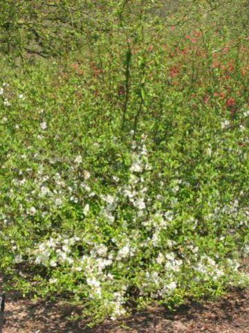 Chaenomeles speciosa 'Nivalis' - Dwergkwee , Japanse sierkwee