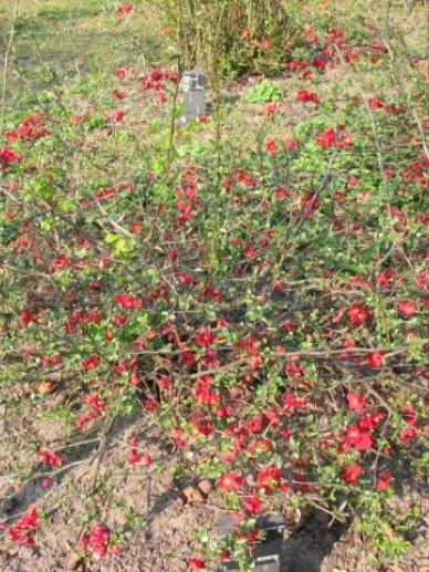 Chaenomeles speciosa 'Simonii' - Dwergkwee , Japanse sierkwee