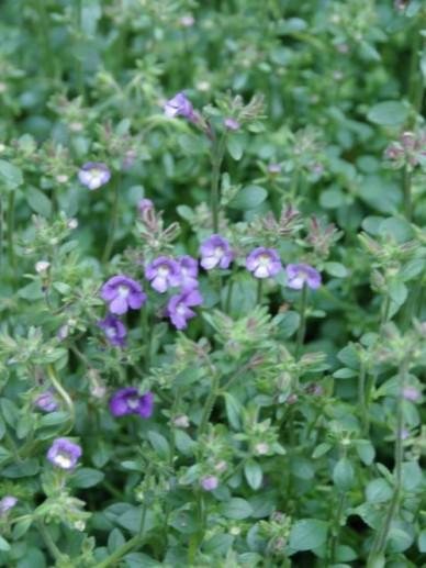 Chaenorhinum origanifolium 'Blue Dream' - Dwergleeuwebek , Marjoleinbekje