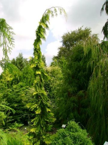 Chamaecyparis lawsoniana 'Filip's Golden Tears' - Treurcypres