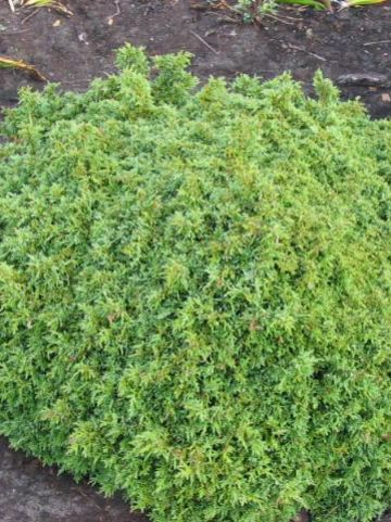 Chamaecyparis lawsoniana 'Forsteckensis' - Schijncypres