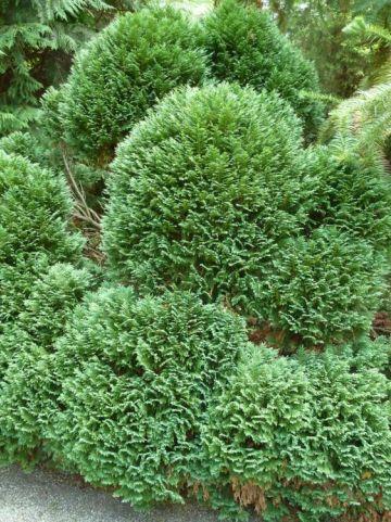 Chamaecyparis lawsoniana 'Gimbornii' - Dwergcypres