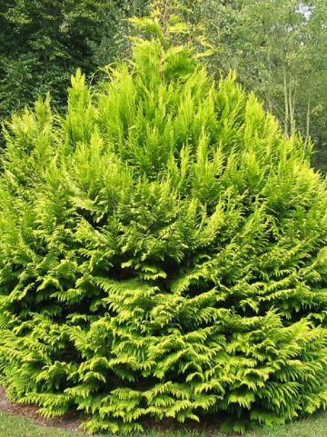 Chamaecyparis lawsoniana 'Golden Wonder' - Cypres , Schijncypres