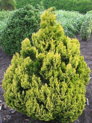 Chamaecyparis lawsoniana 'Minima Aurea' - Schijncypres