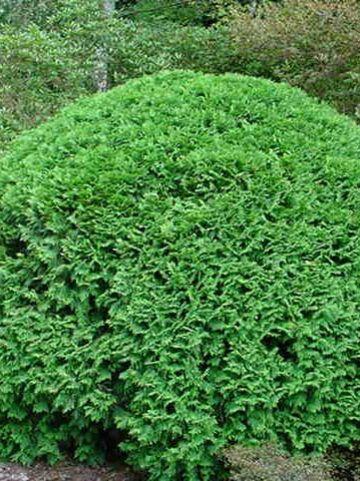 Chamaecyparis lawsoniana 'Minima Glauca' - Schijncypres
