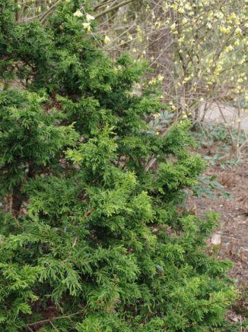 Chamaecyparis obtusa 'Lycopodioides' - Hinoki cypres