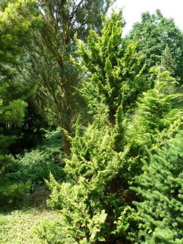 Chamaecyparis obtusa 'Tetragona Aurea' - Hinoki cypres