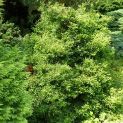 Chamaecyparis obtusa 'Tsatsumi Gold' - Hinoki cypres
