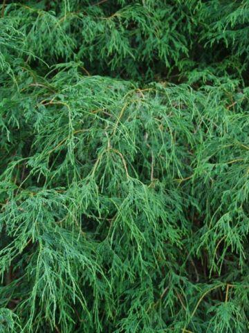 Chamaecyparis pisifera 'Filifera' - Sawara cypres