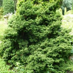 Chamaecyparis pisifera 'Plumosa Compressa' - Sawara cypres