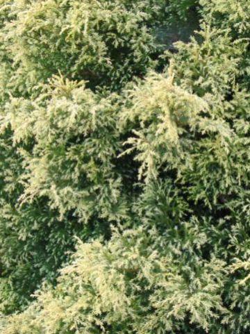 Chamaecyparis pisifera 'Squarrosa Sulphurea' - Schijncypres