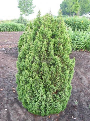 Chamaecyparis thyoides 'Top Point' - Schijncypres