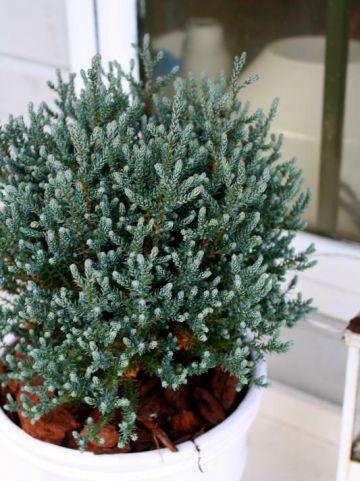 Chamaecyparis thyoides 'Blue Rock' (='VERSENT') - Schijncypres
