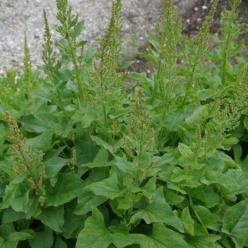 Chenopodium bonus-henricus  - Brave hendrik