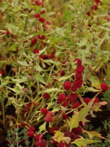 Chenopodium capitatum  - Aardbeispinazie , Aardbei-melde
